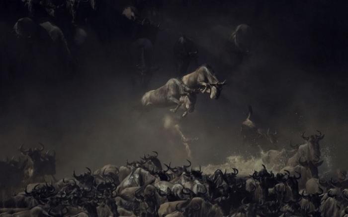 Лучшим в номинации «Дикая природа» признан фотограф Пим Волкерс (Pim Volkers) за впечатляющий снимок прыгающих антилоп гну при переправе через реку Мара.