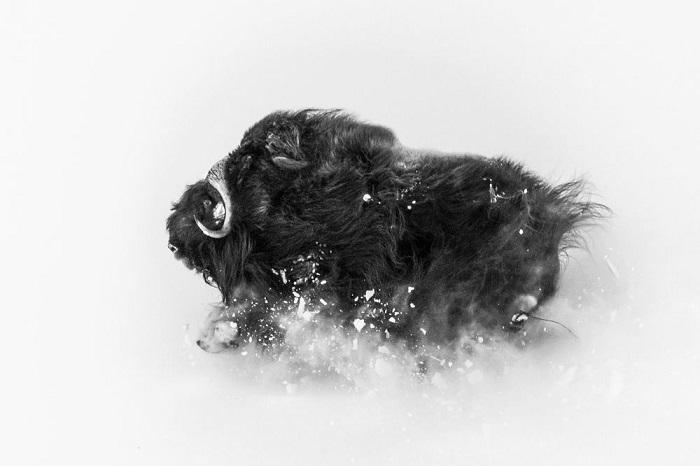 2-е место в категории «Дикая природа» присуждено фотографу Джонасу Бейеру (Jonas Beyer), запечатлевшему бегущего по снегу могучего овцебыка.