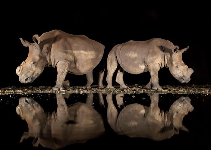 Третьим в номинации «Дикая природа» стала фотограф Элисон Лангевад (Alison Langevad), запечатлевшая носорогов с удаленными рогами у водопоя.