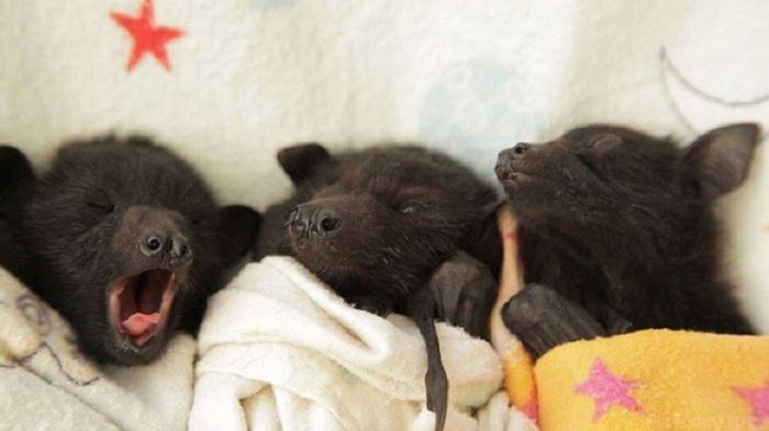 Новорожденные летучие мыши совершенно не способны к самостоятельной терморегуляции.