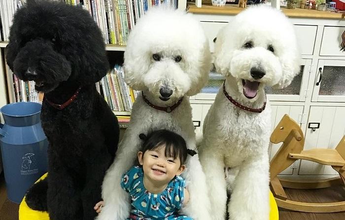 Маленькая девочка Маме и её огромные пушистые пудели по кличке Рику, Гаку и Квоо.