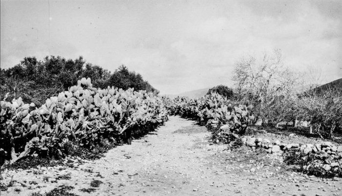 Типичные израильские безыгольчатые кактусы.
