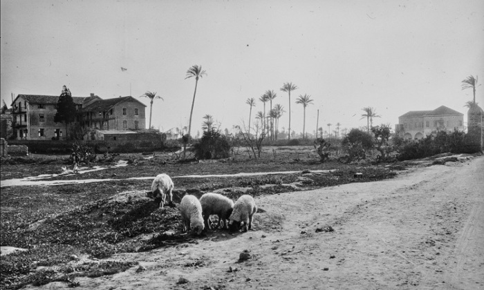 Овцы на обочине дороги на окраине Яффы.