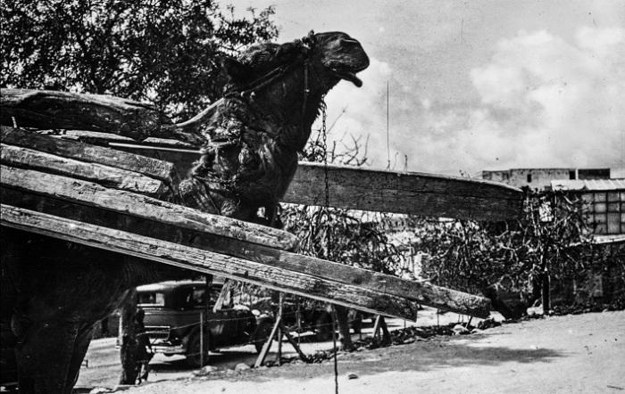 Верблюд перевозит деревянные балки в Назарет.