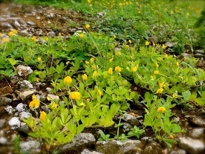 Жёлтый цветок земляного ореха цветёт лишь один день.