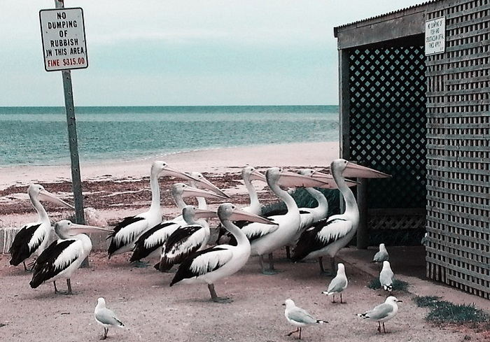«Кормление пеликанов».