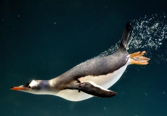 Пингвин в аквариуме в Мельбурне. Фотограф Newspix.