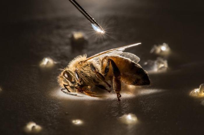 Пчела во время лабораторного эксперимента.
