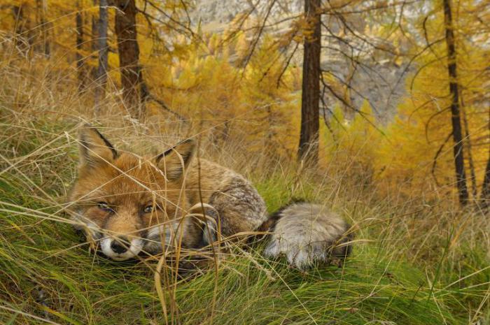 Лиса в национальном парке Гран-Парадизо - старейшем национальном парке Италии.