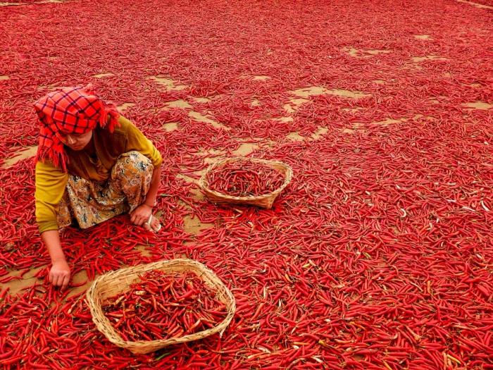 Сбор просушенного перца. Автор фотографии: Офир Саруси (Ophir Sarusi).