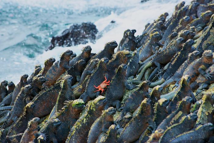 Единственная оставшаяся морская ящерица на Земле. Автор фотографии: Брюс Александр (Bruce Alexander).