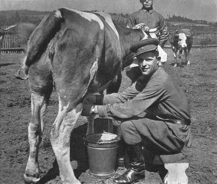 Советский солдат доит корову.
