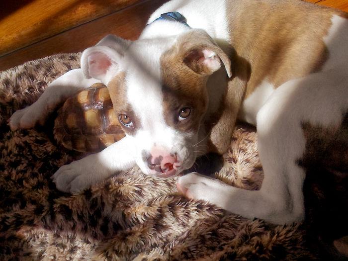 Паки сразу приняла черепашку под свою защиту, а Ракета Ларри никогда не боялся доброго щенка.