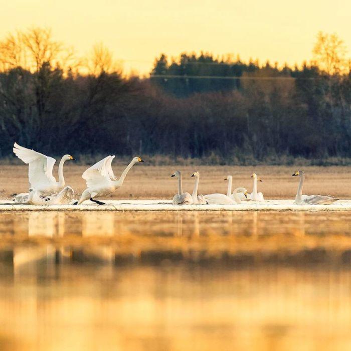 Талантливый фотограф из Финляндии не только тонко чувствует настроение животных и птиц, но и проводит много времени, изучая их повадки и привычный образ жизни.