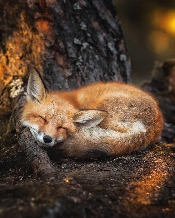 Зачастую на «фотоохоту» Осси выходит перед закатом, когда есть большая вероятность встретиться с лесными обитателями.