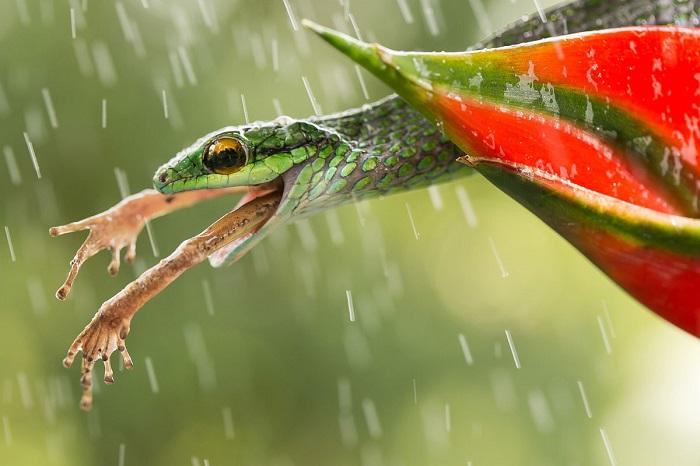 Обед змеи из Коста-Рики.(Вулкан Ареналь, Коста-Рика, май 2014 года, Canon 5D Mark III).