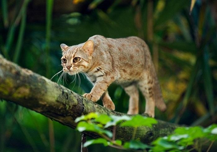 Дикая малая кошка из рода азиатских кошек.