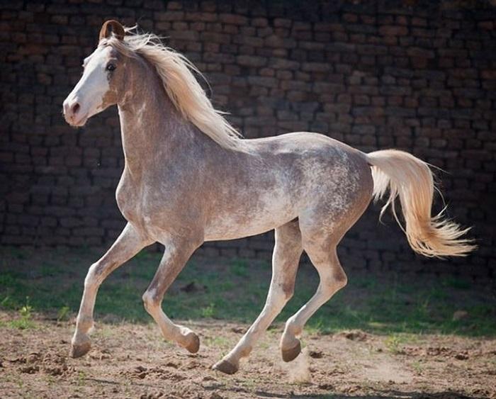 «Сабино» в переводе с испанского языка означает «бледный» или «пестрый».