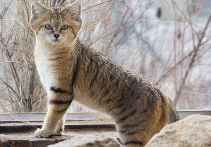 Барханная кошка одна из наиболее трудных для изучения в природе.