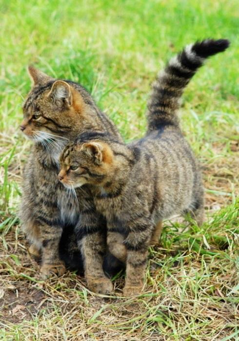 Шотландский Wildcat тесно связан с европейской дикой кошкой.
