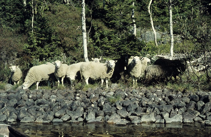 Овцы на берегу озера.