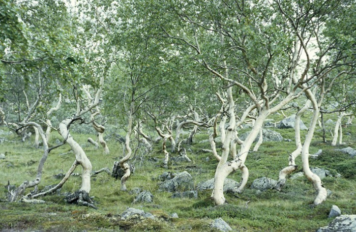 Скудная растительность Лапландии.