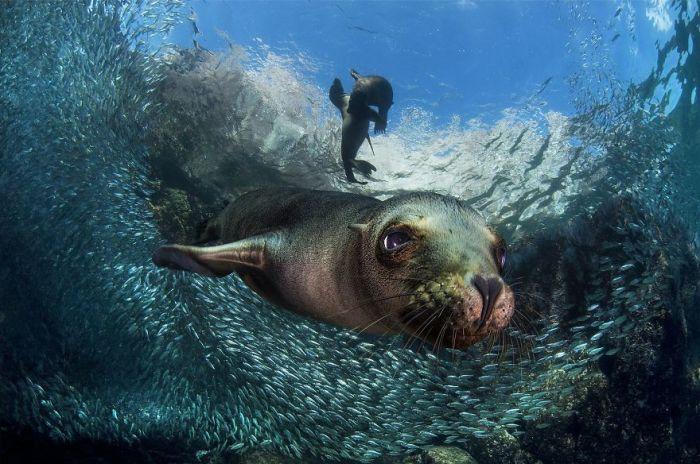 3-е место в категории «Животные в естественной среде обитания» присуждено итальянскому фотографу Филиппо Борги (Filippo Borghi).
