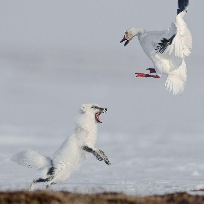1-е место в категории «Животные в естественной среде обитания» занял российский фотограф Сергей Горшков (Sergey Gorshkov).