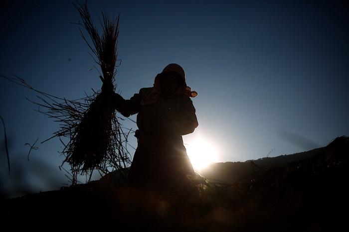 Силуэт женщины, которая собирает солому на своем рисовом поле.