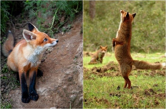 Естественная красота хитрых лис.