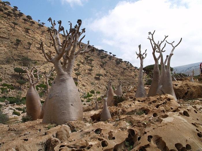 Бутылочные деревья острова являются жемчужиной Йемена и всего Аравийского региона.