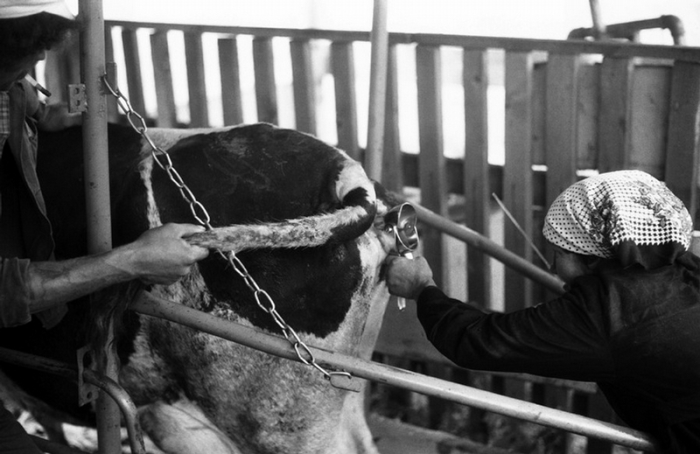 Искусственное осеменение коров.