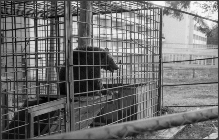Жизнь медведя в профилактории «Юность», Кемерово, 1984 год.