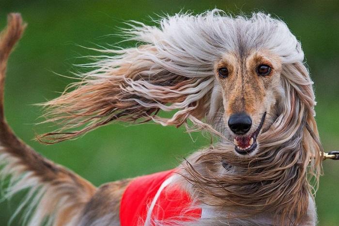 Собачьи бега в Висмаре, Германия. Фотограф Йенс Бюттнер (Jens Buettner).