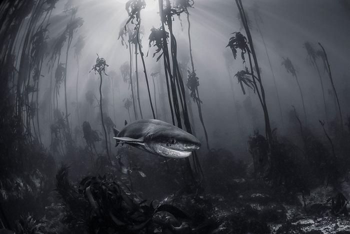Акула в подводных зарослях. Автор фотографии: Tracey Jennings.