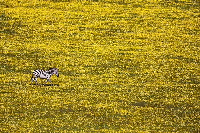 Отбившись от стада в поисках свежей травы. Автор фотографии: Юваль Офек (Yuval Ofek).