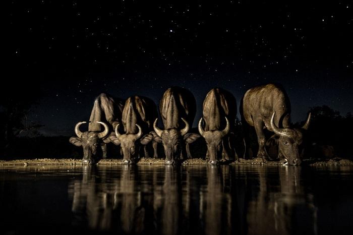 В ночной тишине буйволы осторожно пришли на водопой. Автор фотографии: Элисон Лангевад (Alison Langevad).