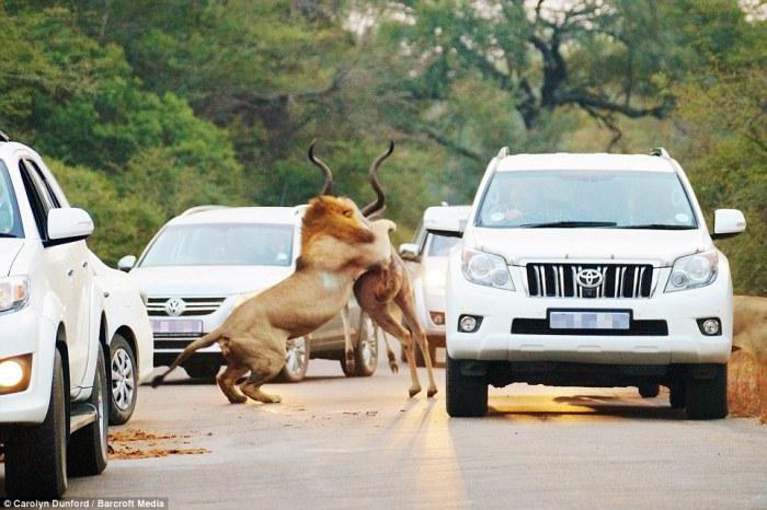 Лев убивает свою добычу прямо на дороге на глаза у ошеломлённых туристов в Национальном парке Крюгер в Южной Африке.