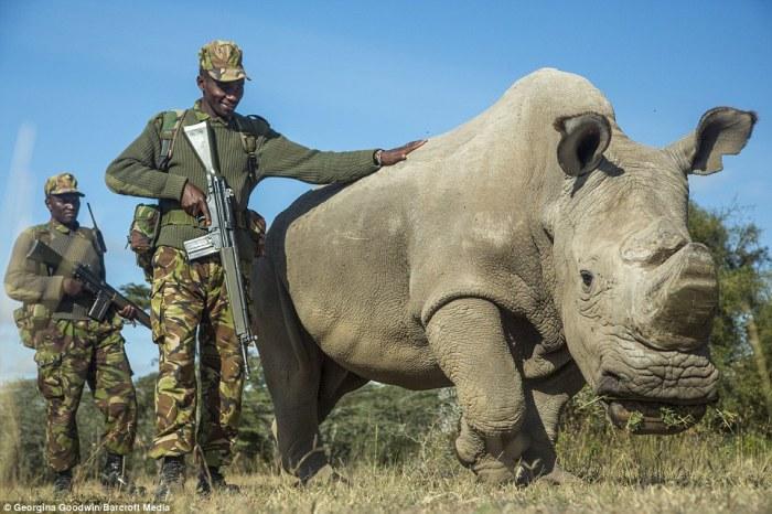 Судан – последний на Земле самец северного белого носорога в заповеднике дикой природы Ol Pejeta в Кении.