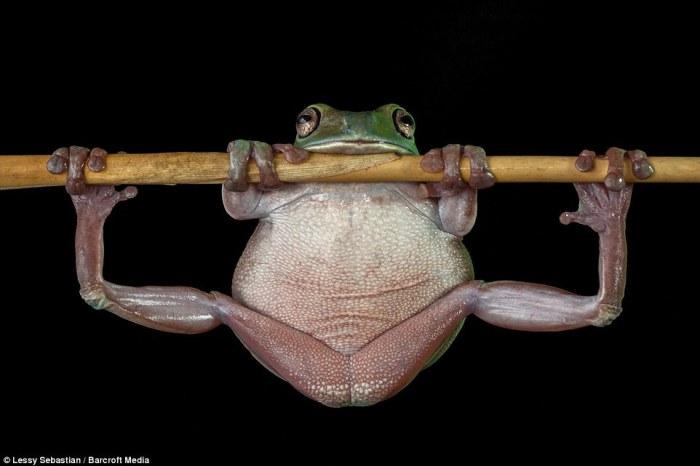 Древесная лягушка карабкается по тонкой ветке в Индонезии.