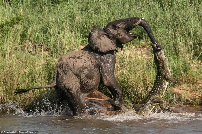 Слон вытаскивает из водоёма напавшего на него крокодила в природном заповеднике Саби-Сэндс, Южная Африка.