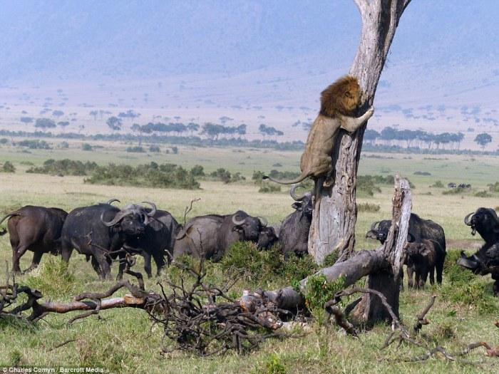 Лев спасается от стада разъярённых буйволов в заповеднике Масаи-Мара, Кения.