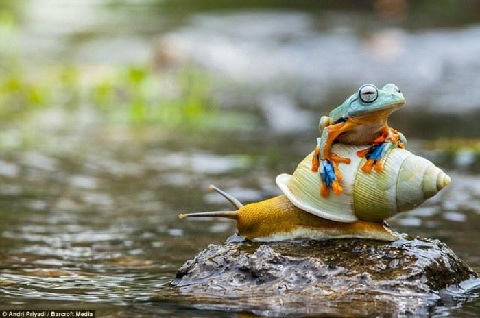 Крошечная лягушка верхом на улитке в Индонезии.
