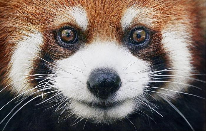 Малая панда - одно из милейших животных Земли.