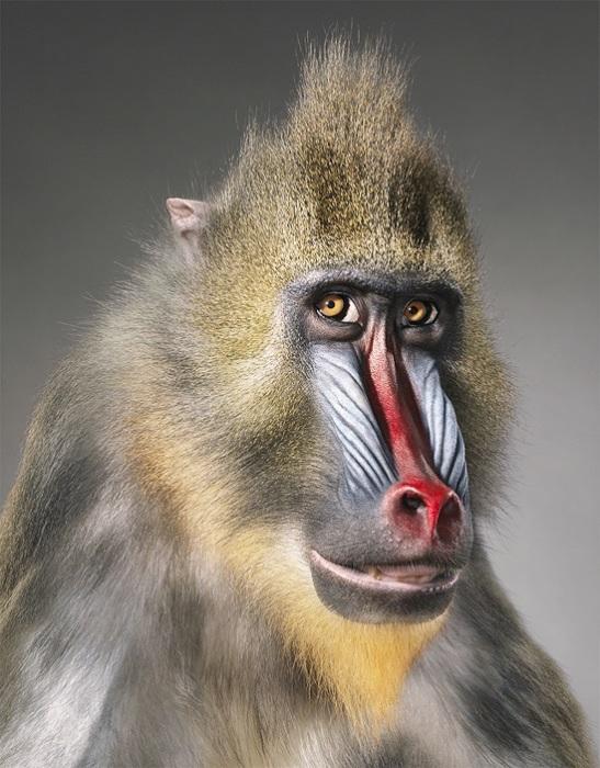 Крупная обезьяна из семейства мартышковых.