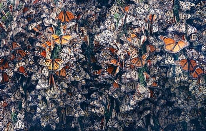 Достигнув места зимовки колония бабочек впадает в спячку.