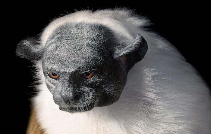 Тамарины - одни из самых мелких обезьянок.