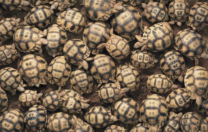 Черепахи довольно крупных размеров, длина панциря доходит до 45 сантиметров.