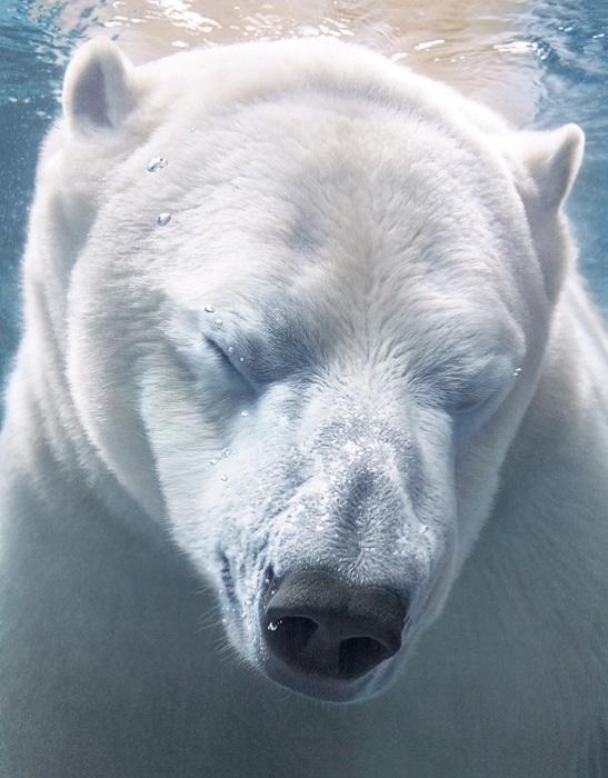 Полярный медведь - самый крупный наземный хищник.