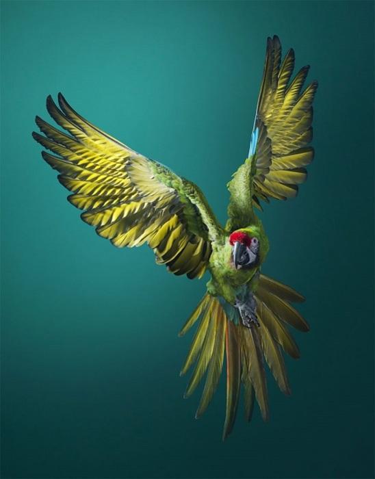 Птицы отличаются от большинства представителей попугаевых большой выносливостью и сильными крыльями.